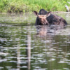 Moose on Little Joe Lake